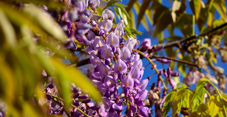 Cluster of beautiful wisteria flowers between the green leaves