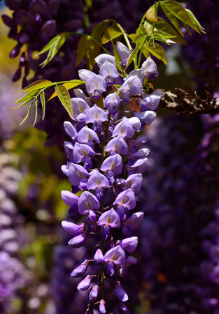 Isolated cluster with beautiful flowers in full splendor, Wisteria