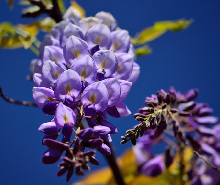 Splendid cluster with beautiful flowers in foreground and blue sky background, Wisteria