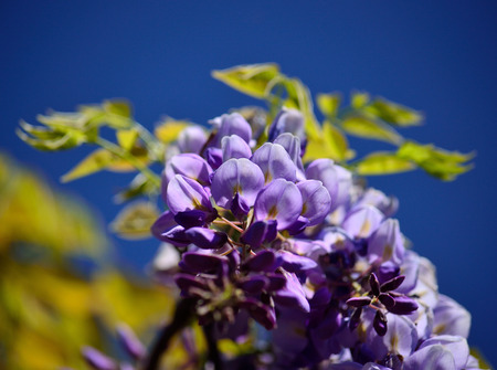Beautiful wisteria flowers in foreground with intense blue sky background