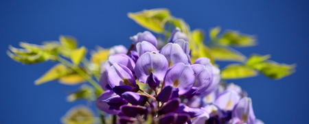 Beautiful wisteria flowers in foreground with blurred blue sky in background Imagens