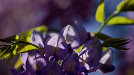 Closeup of Wisteria flowers between green leaves and blurred background