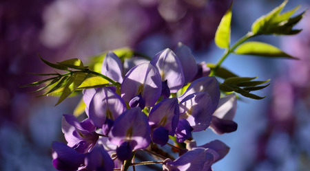 Wisteria flowers in foreground, green leaves and blurred background Imagens