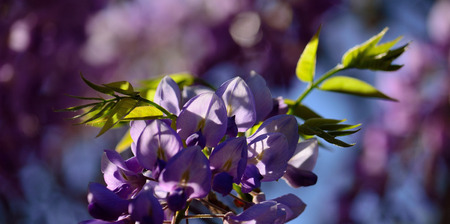 Beautiful pink flowers in foreground, green leaves and blurred background, Wisteria Imagens