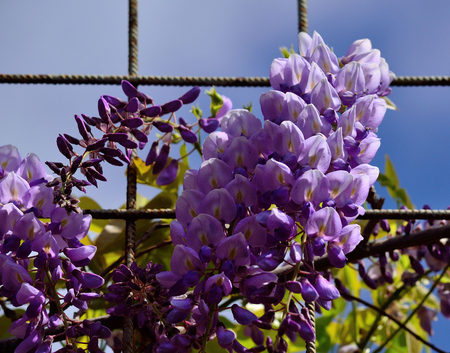 Clusters of beautiful flowers between the rods of a metal fence, Wisteria