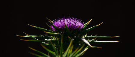 Flower head of milk thistle in full splendor, in foreground and black background