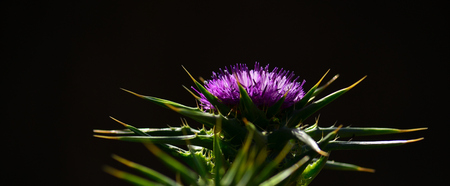 Splendid flower head of milk thistle, in foreground and black background