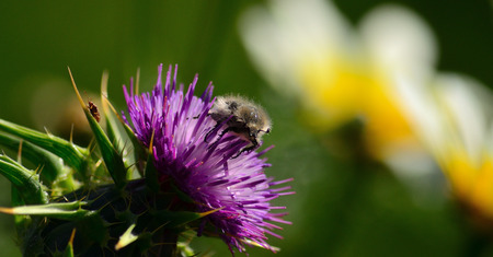 Small beetle among the stamens of splendid milk thistle flower in foreground Imagens