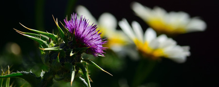 Splendid thistle flower in foreground and white daisies out of focus in background, Silybum marianum Imagens