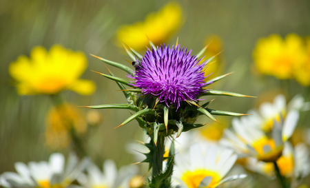 Thistle flower in full splendor and daisies in background out of focus, Silybum marianum Imagens