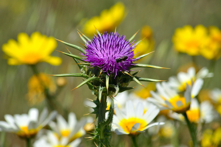 Milk thistle flower in foreground with yellow and white daisies out of focus in background Imagens