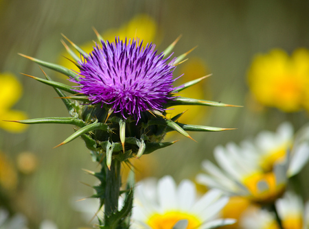 Flower head of wild thistle in foreground and daisies out of focus, Silybum marianum