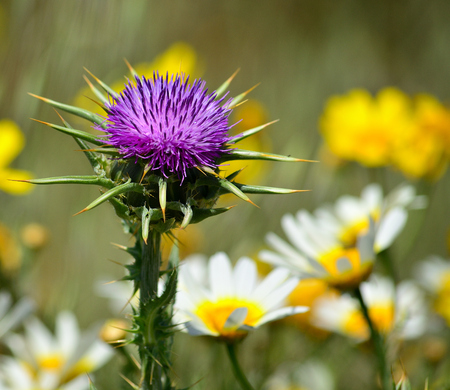 Splendid flower head of milk thistle and daisies out of focus Imagens