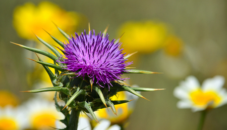 Beautiful wild thistle flower in foreground and daisies out of focus, Silybum marianum