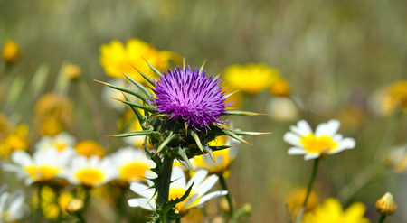 Isolated thistle flower with blurred daisies in background, Silybum marianum