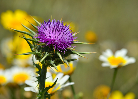 Beautiful milk thistle flower in full splendor and daisies in blurred background