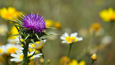 Beautiful milk thistle flower in foreground and daisies in blurred background