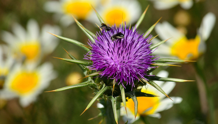 Milk thistle flower with insects and daisies out of focus in the background