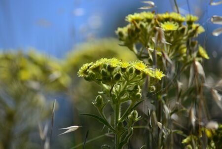 Plants of Senecio in full bloom in the middle of the meadow