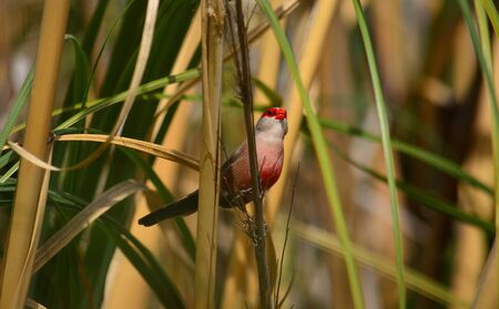 Beautiful bird of red and white tones watching intently among the plants, Estrilda astrild