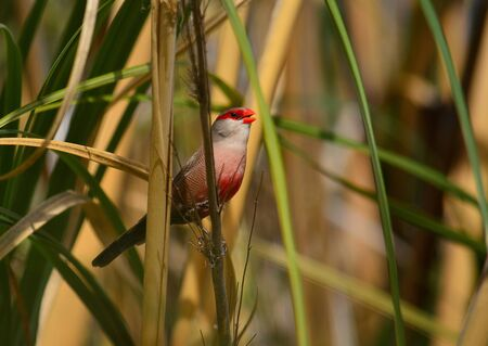 Beautiful bird of red tones singing among the plants, Estrilda astrild Imagens