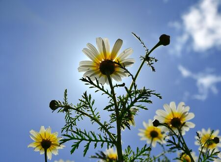 Group of beautiful daisies with splendid blue sky in background, view from below