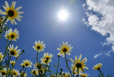 Beautiful daisies seen from below with splendid blue sky, clouds and intense sun