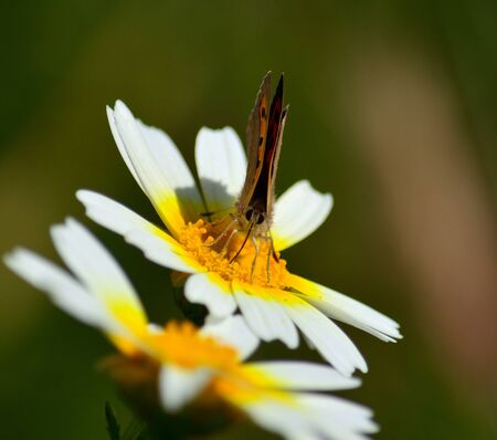Small butterfly of colors sipping nectar on white daisy