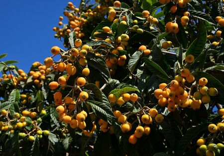 Branches of medlar tree with numerous ripe fruits and ready to collect