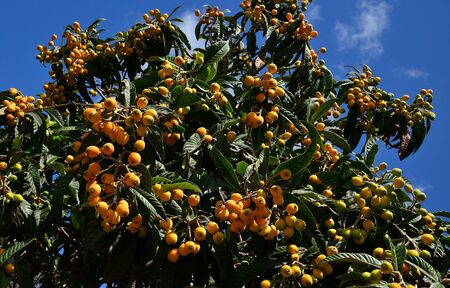 Medlar tree with numerous ripe fruits ready to collect and blue sky background