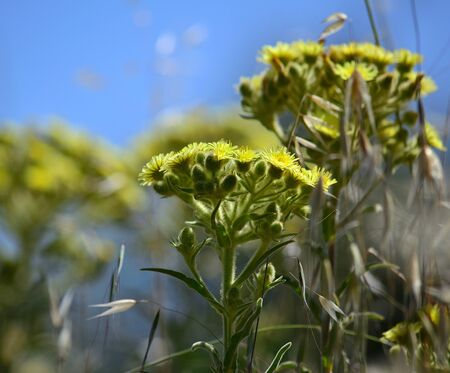 Plants of Senecio in full bloom and blue sky in the background Imagens