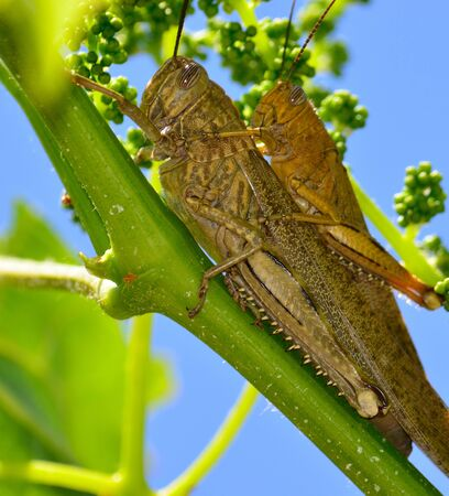 Large grasshoppers in foreground on a vine branch in mating ritual