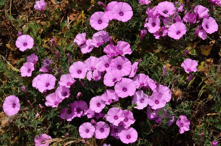 Beautiful pink wildflowers in full splendor, Morning glory