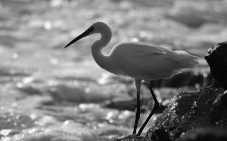 White egret in the seashore on the rocks at low tide, monochrome mode Imagens