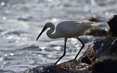 White heron walking on the rocks in the seashore at low tide Imagens