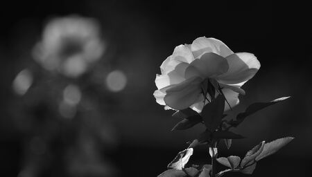 Splendid white rose in foreground with unfocused dark background