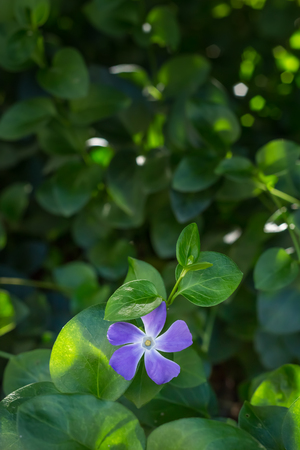 true myrtle: Photo of lilac periwinkle flower with bokeh background