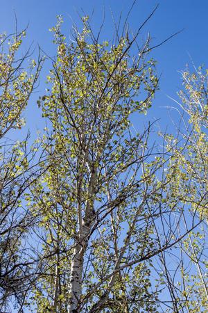 arbol alamo: álamo contra el cielo azul