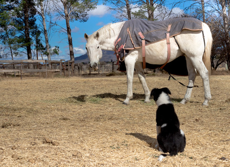 border collie puppy: Photo of eating white horse in paddock looking at Border Collie puppy