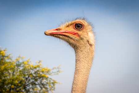 Photo of ostrich face closeup against blue sky