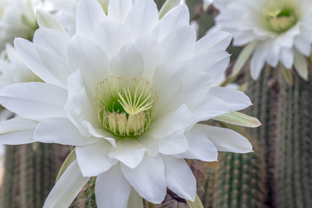 White cactus flower closeup night blooming cereus cactus stock stock photo white cactus flower closeup night blooming cereus cactus nature background mightylinksfo