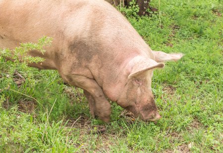 Pig digging in grassy soil - Pig rooting for food Stock Photo
