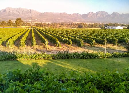 South African vineyard in the sunset near Paarl with mountains in the background