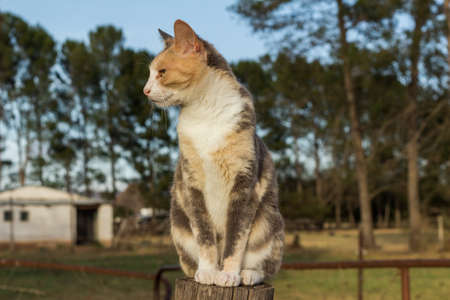 Beautiful grey and ginger calico cat sitting on a farm fence