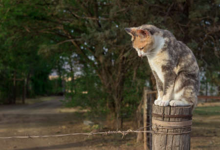 Cat sitting on a farm fence pole looking down - beautiful calico cat Banque d'images