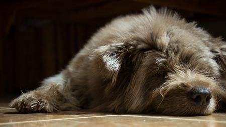Dog breed between Bangkaew and Schnauzer take a sleep. Foto de archivo