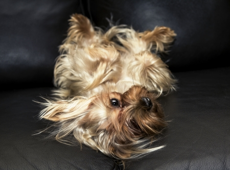 yorke: The Yorkshire Terrier is on a leather sofa Stock Photo