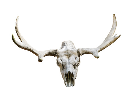elk point: Moose skull with antlers on white background,isolated