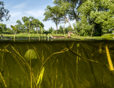 Duck swims in the Lake .View under water on the algae