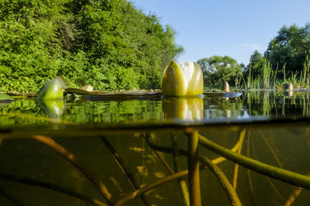 White lilies on the lake. view over the water and under the water lilies and algae
